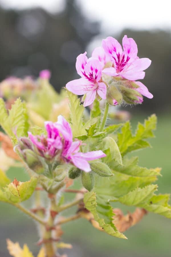 Rose pelargonium
